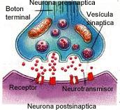 terminales del axon funcion